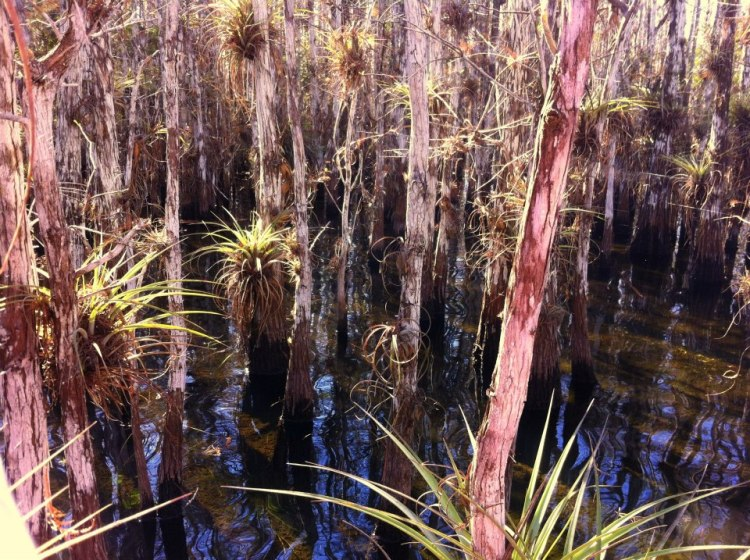 air plants in an Everglades slough