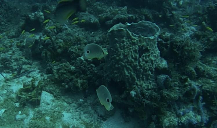 Foureye Butterfly fish and a barrel sponge off Briny Breezes reef