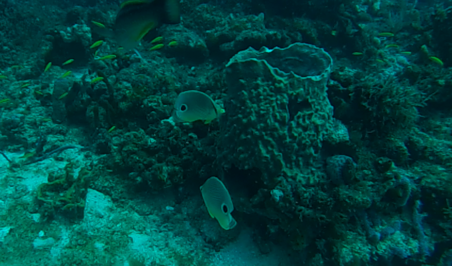 Foureye Butterfly fish and a barrel sponge off Briny Breezes reef